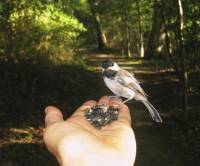 The Chickadee  » Click to zoom ->